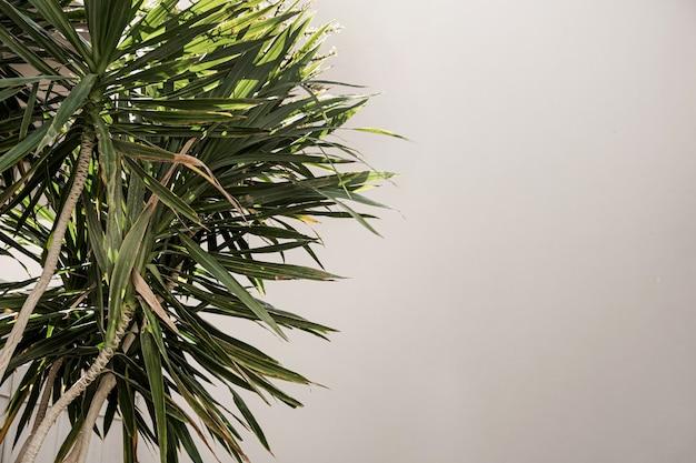 Closeup de belas folhas de palmeira tropical verdejante perto da parede bege.