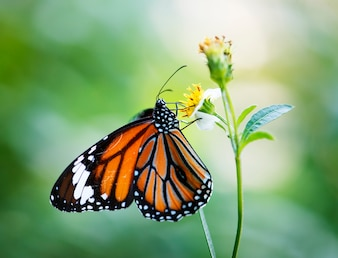 Closeup, de, borboleta monarca
