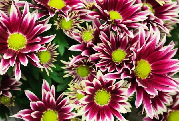 Closeup de buquê colorido de crisântemos como pano de fundo