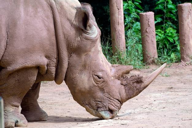 Closeup de cabeça de rinoceronte