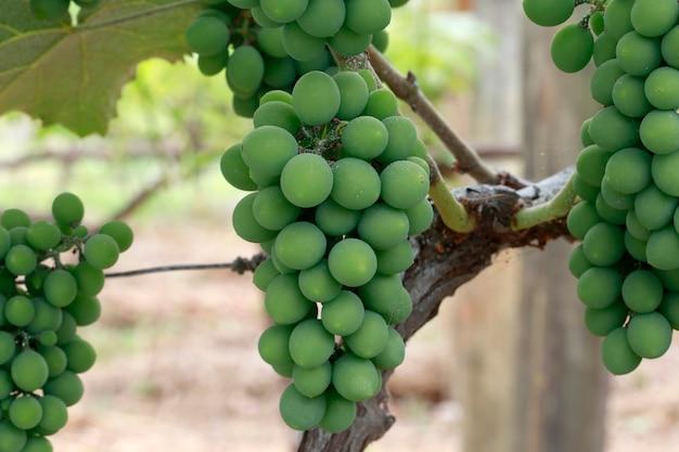 Closeup de cacho de uvas na videira