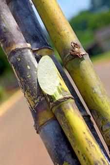 Closeup, de, cana-de-açúcar, pacote