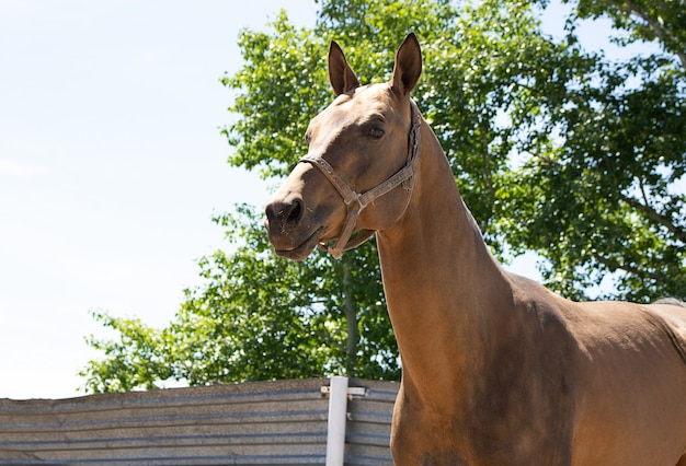 Closeup de cavalo puro-sangue no pôr do sol. pequena profundidade de campo