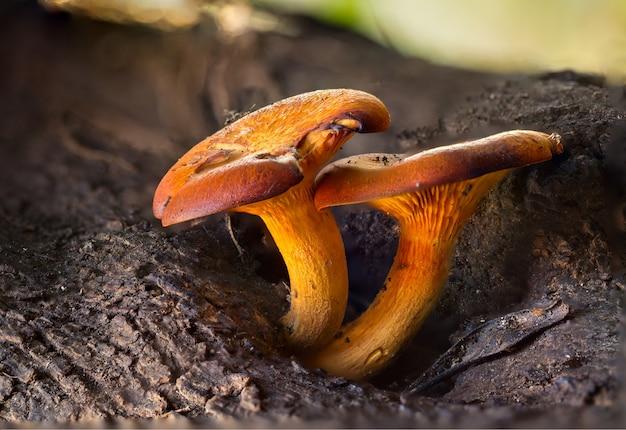 Closeup de cogumelos omphalotus olearius