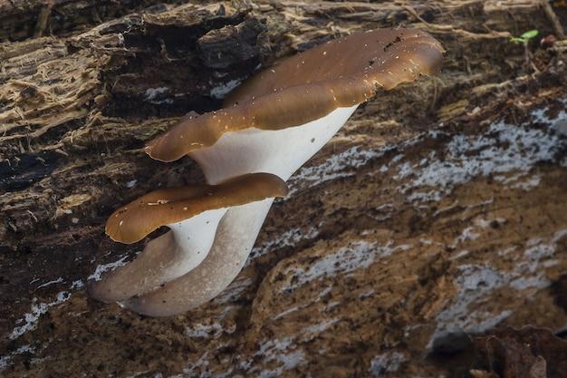 Closeup de cogumelos russula integra na madeira