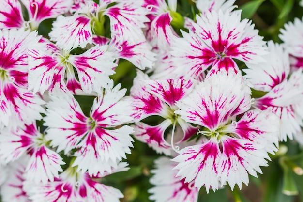 Closeup, de, cor-de-rosa, dianthus chinensis, flores
