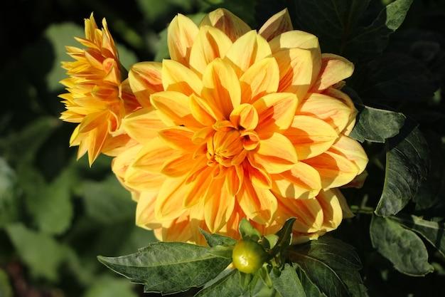 Closeup de dália amarela com botões no jardim botânico