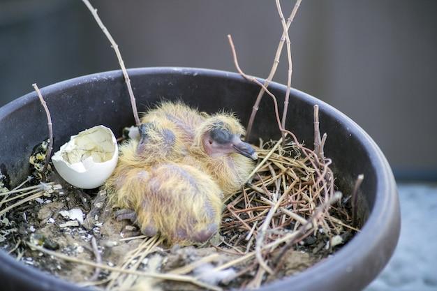 Closeup de dois filhotes de pombos bebê sentado no ninho e dormindo