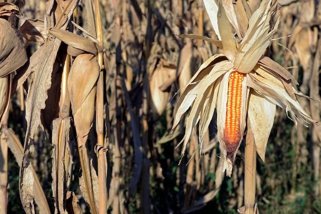 Closeup de espiga de milho aberta, na plantação