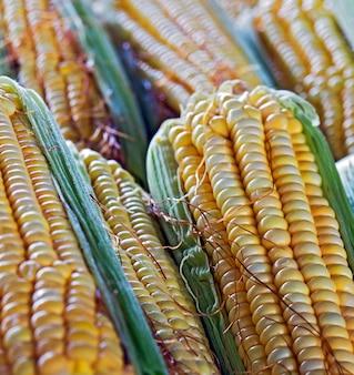 Closeup de espigas de milho