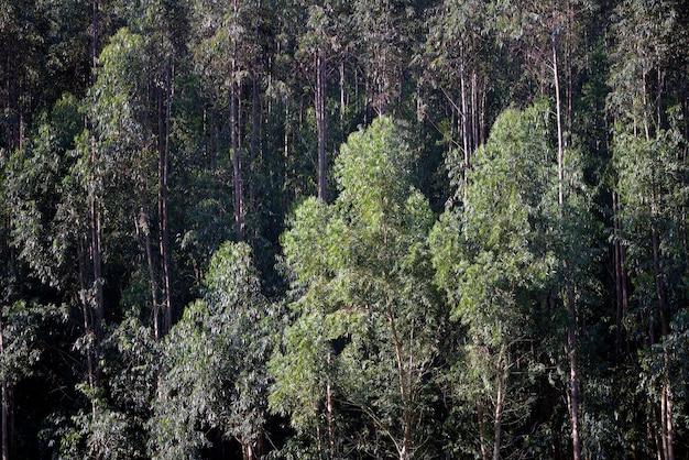 Closeup, de, eucalipto, plantação