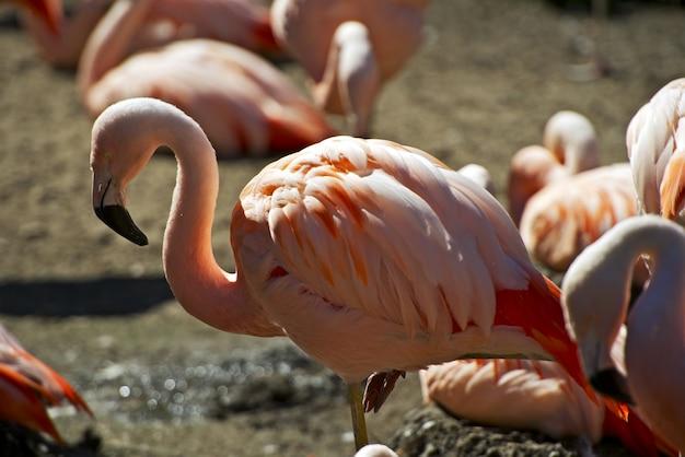 Closeup de flamingo
