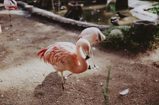 Closeup de flamingos cor de rosa lindos em um parque tropical