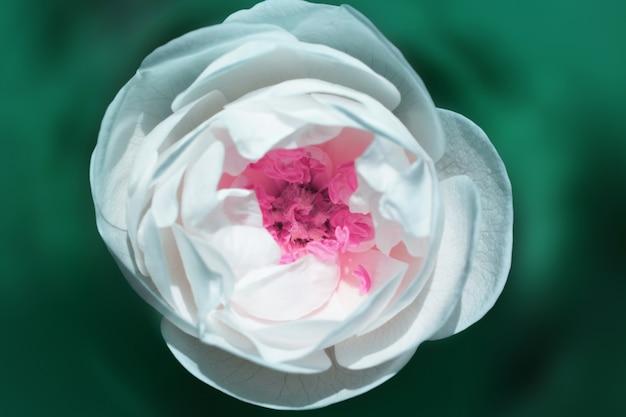 Closeup de flor branca