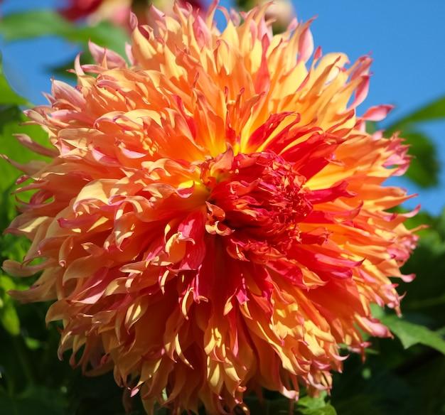 Closeup de flor dália laranja