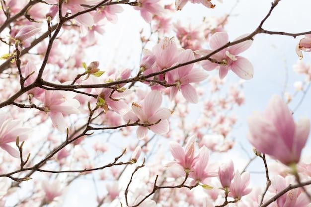 Closeup de flor de árvore de magnólia com fundo desfocado e sol quente