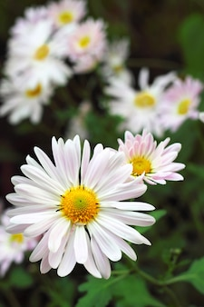 Closeup de flor de crisântemo