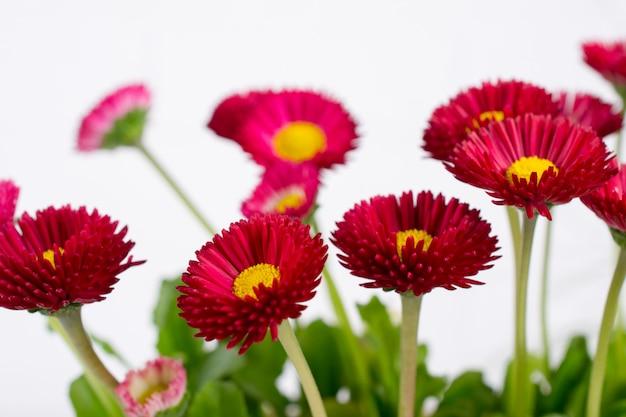 Closeup de flor de primavera delicada pequena margarida bellis rosa