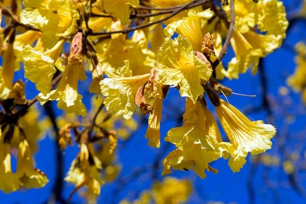 Closeup de flores amarelas lapacho ou ipê
