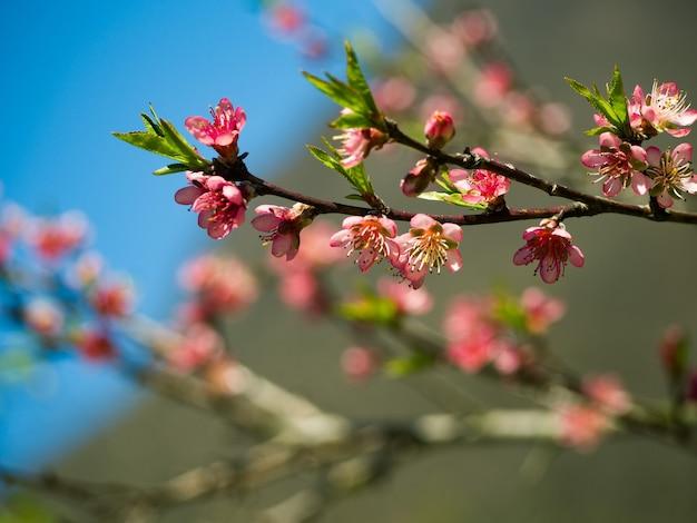 Closeup de flores cor de rosa em um galho em flor de cerejeira