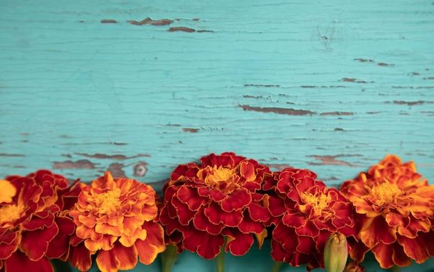 Closeup de flores de calêndula laranja em uma velha mesa de madeira turquesa.