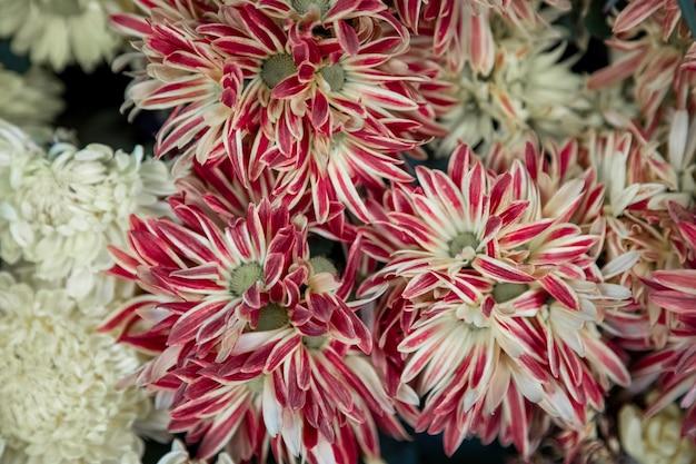 Closeup de flores de crisântemo e áster