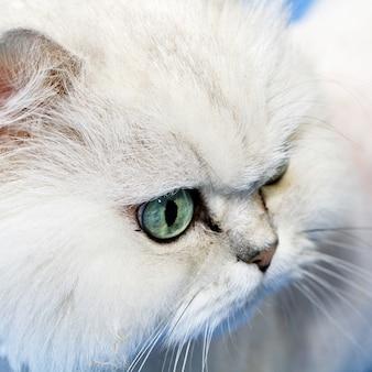 Closeup de focinho de gato branco