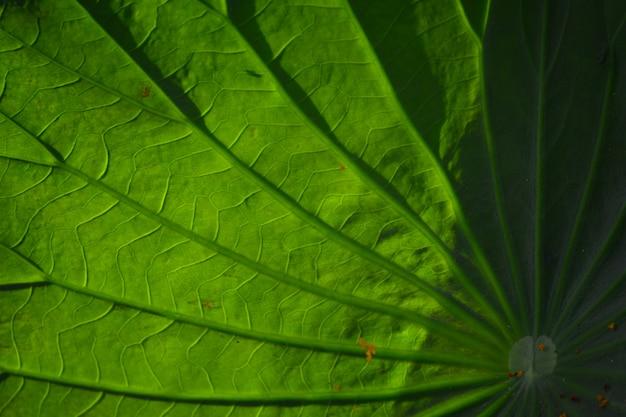 Closeup de folha de lótus para plano de fundo