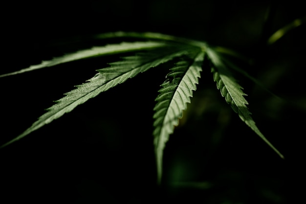 Closeup de folha de maconha cannabis