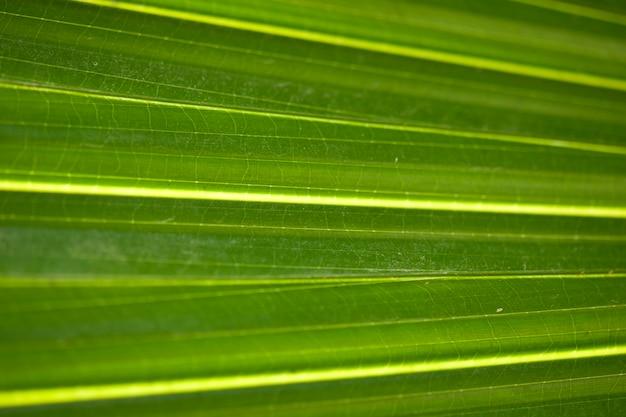 Closeup de folha de palmeira verde tropical