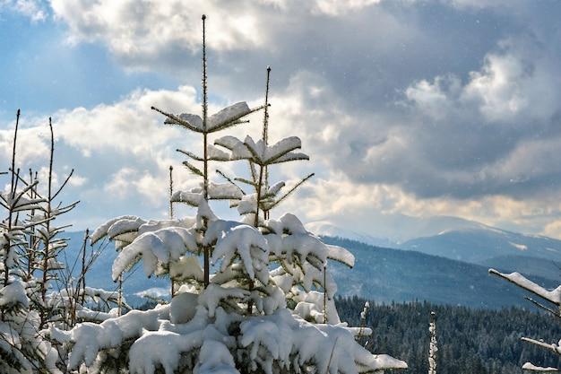 Closeup de galhos de pinheiros cobertos de neve fresca caída na floresta de montanha de inverno em um dia frio e brilhante.