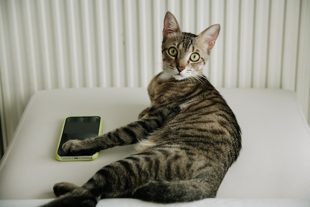 Closeup de gato cinzento despojado, deitada na cama