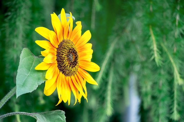 Closeup de girassol flor amarela sobre um fundo desfocado verde