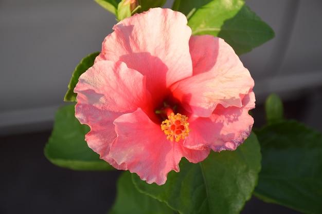 Closeup de hibisceae rosa flor e desfocar o fundo do carro branco