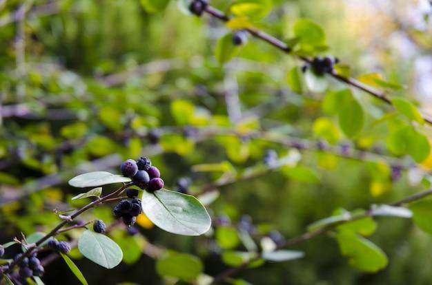 Closeup de huckleberries em galhos de árvores, rodeados por vegetação sob a luz solar