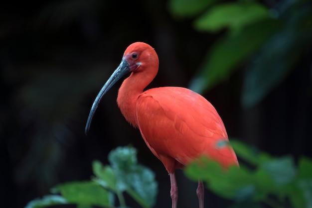 Closeup de ibis escarlate no tronco de árvore