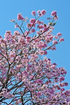 Closeup de lapacho rosa em flor