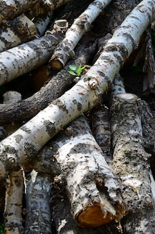 Closeup, de, lenha, de, antigas, poplar, com, áspero, branca, latido