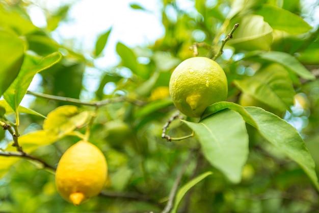 Closeup de limão em uma árvore