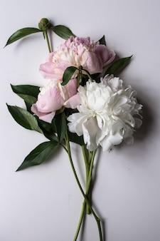 Closeup de linda flor peonie rosa e branco