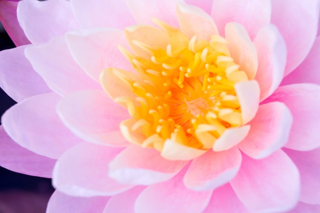 Closeup de lótus rosa mais bonita no pólen amarelo