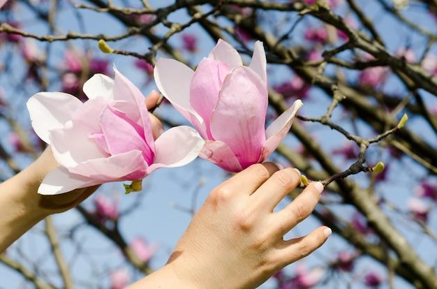 Closeup de mãos segurando galhos de magnólia chinesa sob a luz do sol e um céu azul