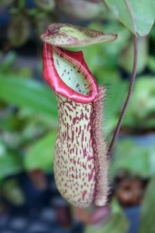 Closeup, de, nepenthes, com, fundo obscurecido