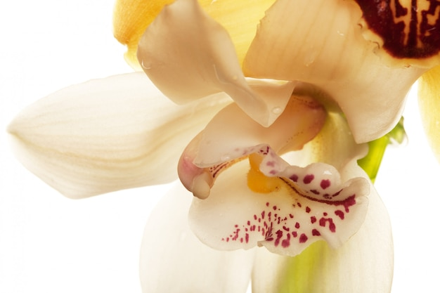 Closeup de orquídea amarela