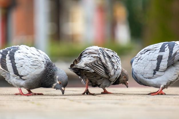 Closeup de pássaros de pombos cinza andando em uma rua à procura de comida da cidade.