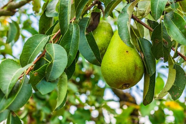 Closeup de peras em galhos de árvores, rodeado por vegetação