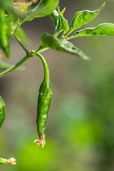 Closeup de pimenta verde orgânica na planta jovem no campo agrícola, o conceito de colheita.