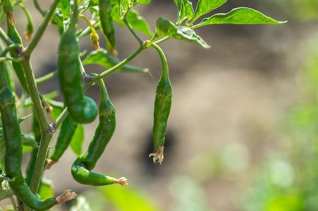 Closeup de pimenta verde orgânica