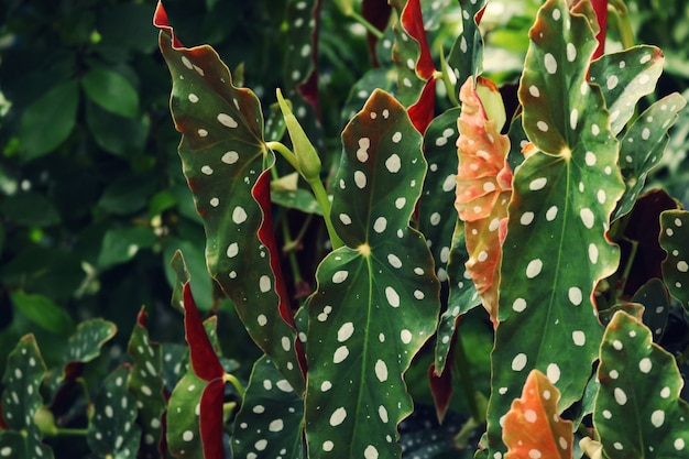 Closeup de planta de folha de taro