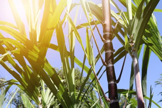 Closeup de plantas de cana-de-açúcar em crescimento no campo Foto Premium